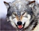 wolf-150x120
