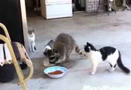 cat and racoon small