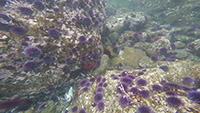Purple Urchin Barren small